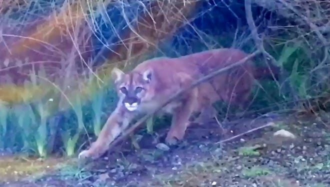A young cougar was caught on camera in a backyard in downtown Ashland.
