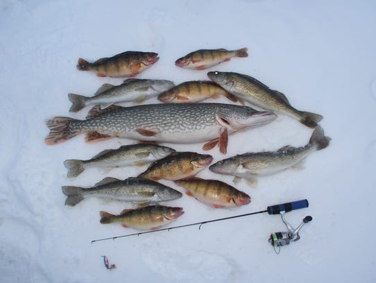 An assortment of yellow perch, walleyes and northern pike caught in a late afternoon flurry of action lies on the ice of Devils Lake.
