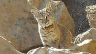 A 3-year-old male bobcat being tracked by researchers was suffering from the effects of rat poison when the mangy wildcat was found and later euthanized in the Simi Hills area last year.