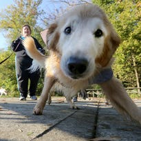 A dog makes its way past the starting line of the Paw Joggers Rescue Run at Sharon Woods Park in October 2013.