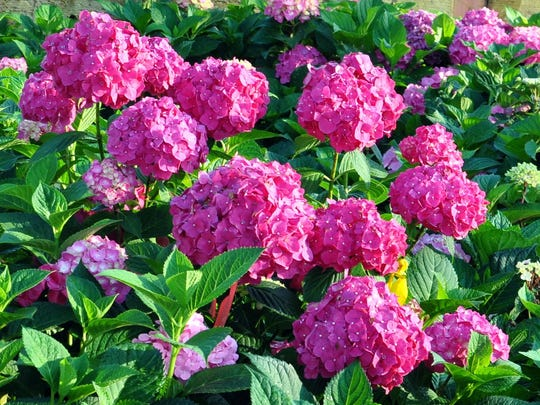 Studies show that most gardeners prefer blue hydrangeas, but intensely pink forms also have appeal.