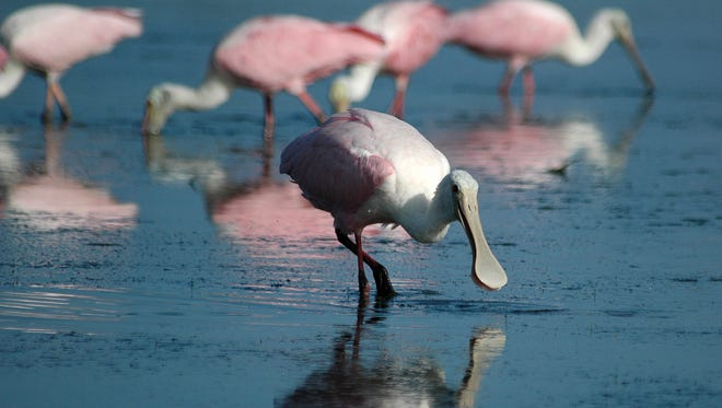 Roseate spoonbills search for breakfast in the shallow lagoon between the park HQ and the Gulf of Mexico. Tigertail Beach draws serious bird photographers with natural beauty, good access and plentiful wildlife.