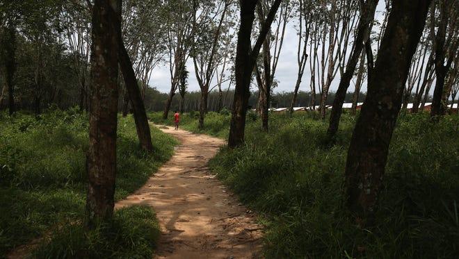 A local resident walks through the Firestone rubber tree plantation near Dolo Town, Liberia on Aug. 24.