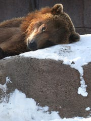 He wasn't hibernating, but Mikal, the Indianapolis Zoo's Brown Bear, did take a short snooze on a snow-covered rock in a ray of sunshine in his exhibit on Sunday, Feb. 22, 2015. Indianapolis had 5.3 inches of snow on Saturday, according to the National Weather Service.