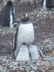 A gentoo penguins tends two chicks.