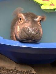 Fiona, Cincinnati Zoo's adorable baby Nile hippo, is