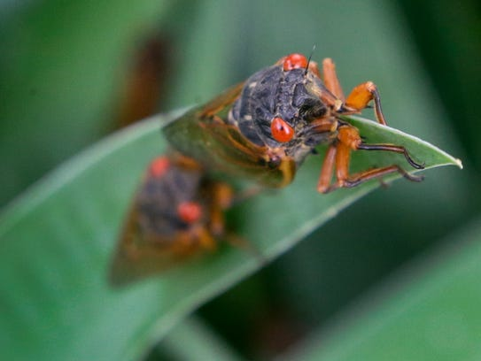 A periodical cicada lands on an Iris leaf in a garden