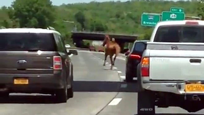 A horse gallops along the northbound lanes of Interstate 684 in Bedford on Monday morning.