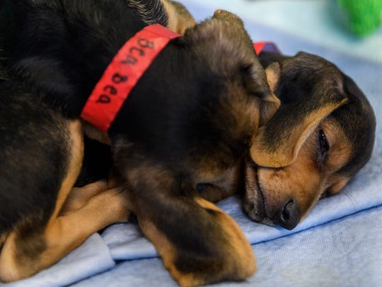 Bea Bea and Buxton, two dachshund and beagle mixed puppies, snuggle and sleep together in their crate at It Takes A Village.