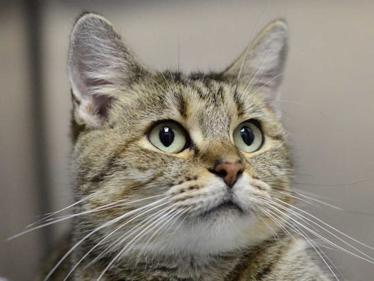 October - Female domestic short hair, adult. Intake