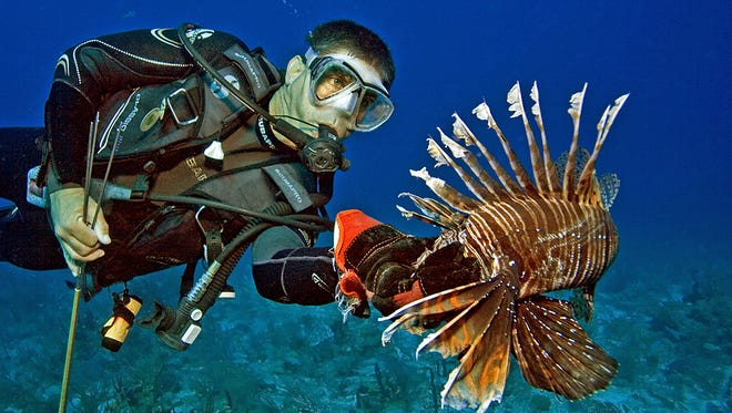 A diver grabs a lionfish by the head after spearing the invasive species in South Florida. The good news is that only the spines of the lionfish are venomous and the flesh is delicious. Central in downtown Montgomery has added it to the menu.