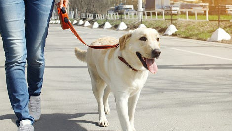 The Labrador retriever is the most popular dog in York County. There were 4,655 licensed with York County in 2015, more than twice as many as the Chihuahua, which was the second-most popular dog.