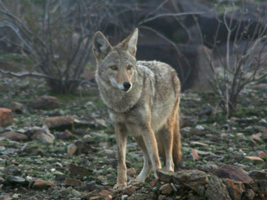 Coyotes are often the target of wildlife-killing contests.