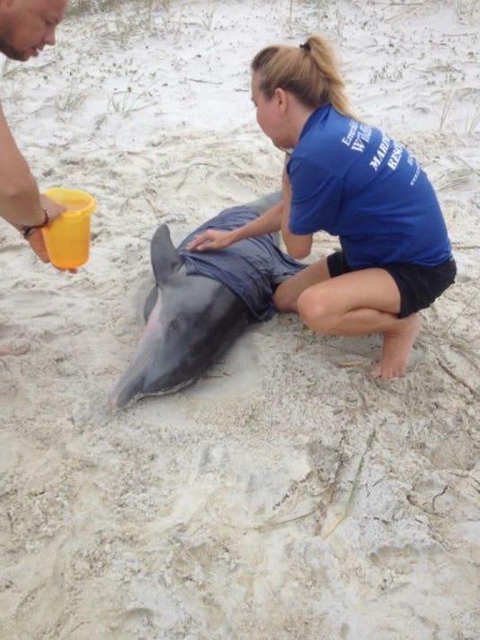 636431505680483448-stranded-dolphin-.JPG