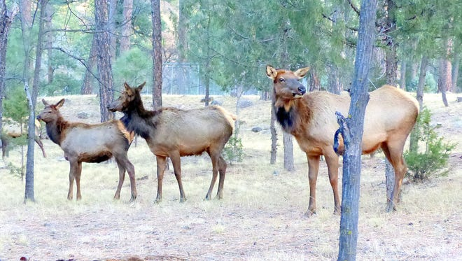 Just a few yards from midtown on Country Club Drive, three elk cows meander down to the Rio Ruidoso for a drink of water. Also known as wapiti, the American elk is an ungulate that shares hooves with deer and antelope. The hooves are enlarged claws on the toes. Ungulates are digitigrade, indicating they walk on their toes. They also account for the vast majority of large herbivores currently on earth.