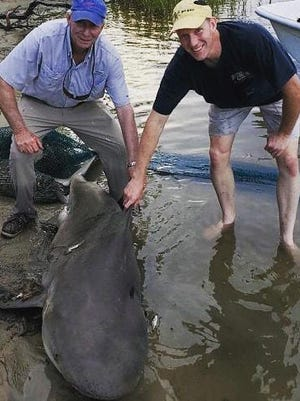 This bull shark was caught tangled in a shrimp net off Clubfoot Creek Tuesday morning, about a mile from where a man was bitten by something in the water. The shark was released back into the river.