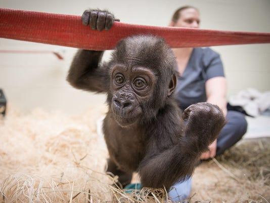 636644994668318986-Gorilla-Zahra-5525---Grahm-S.-Jones-2c-Columbus-Zoo-and-Aquarium.jpg