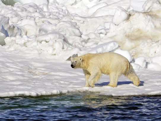 A polar bear dries off after taking a swim in the Chukchi