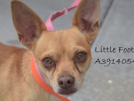 Little Foot - Male (neutered) chihuahua mix, about