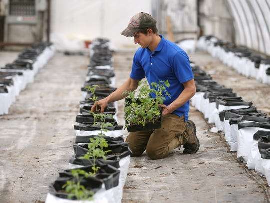 Nate Savage, owner at Sunscape Farms, plants tomatoes in one of his greenhouses in Greece.