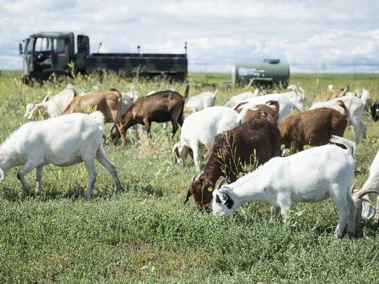 A herd of 172 Boer Spanish Cross Goats graze on Malmstrom Air Force Base on Wednesday, July 13, 2016. The goats were used in a demonstration of herbicide-free weed control.