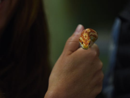 A corn snake is shown on March 22, 2018, at Kazimir's