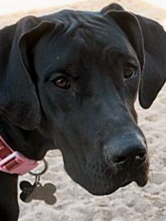 Catalina is available for adoption through Great Dane Rescue of El Paso.