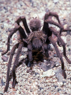 Worldwide there are some 600 species of tarantulas and they are by no means restricted to deserts.