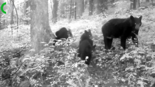 Bears in Pine Mountain.
