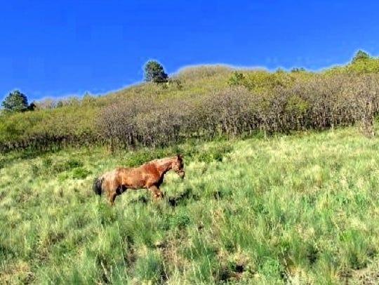 Spanky enjoys a run toward a grove of oak.