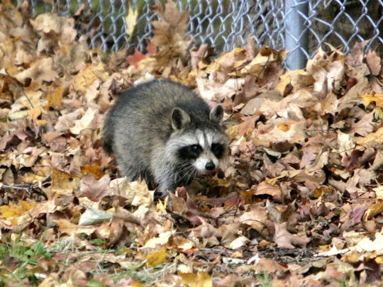 A raccoon makes it way along the fence line at the Cortlandt Town Hall.