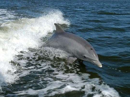 The bottlenose dolphin can be found in the Chesapeake Bay during the spring, summer and early fall months.
