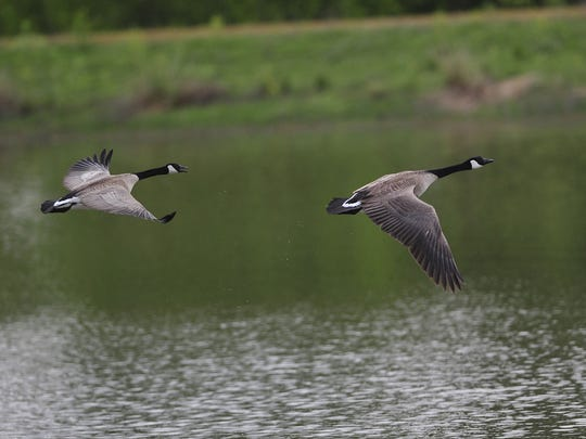 Geese fly over Ankeny National Wildlife Refuge. The 1,800-acre refuge provides habitat for a wide variety of birds and animals.