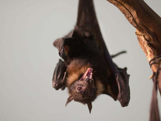 A giant fruit bat, also known as Indian flying fox, shares space with the aardvarks in the Night Hunters exhibit at the Cincinnati Zoo and Botanical Garden. These bats are nocturnal and feast on ripe fruits and flowers. Their life expectancy is 15-31 years.