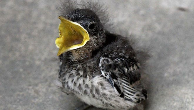 Baby birds don't always need your help.