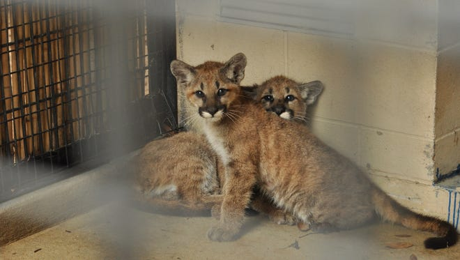 The brother and sister cougar kittens just days after arriving from Washington at the Alexandria Zoo.