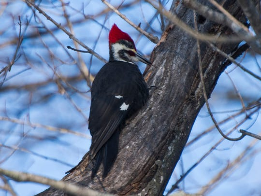 A woodpecker hunts for insects on a tree limb at Gypsy