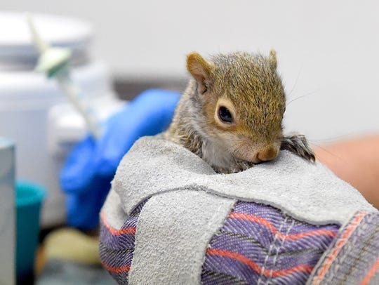 A young squirrel is held while the formula is warmed