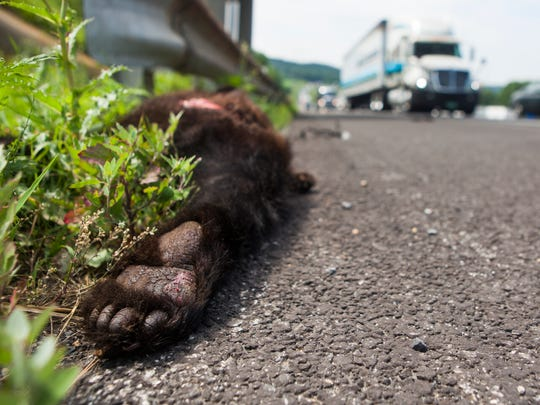 A dead black bear lies on the side of I-81 after being hit by a vehicle near Weyers Cave on Thursday, June 25, 2015.