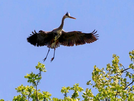 A blue heron moves to land in a tree at Green Pastures Still Waters Farm.