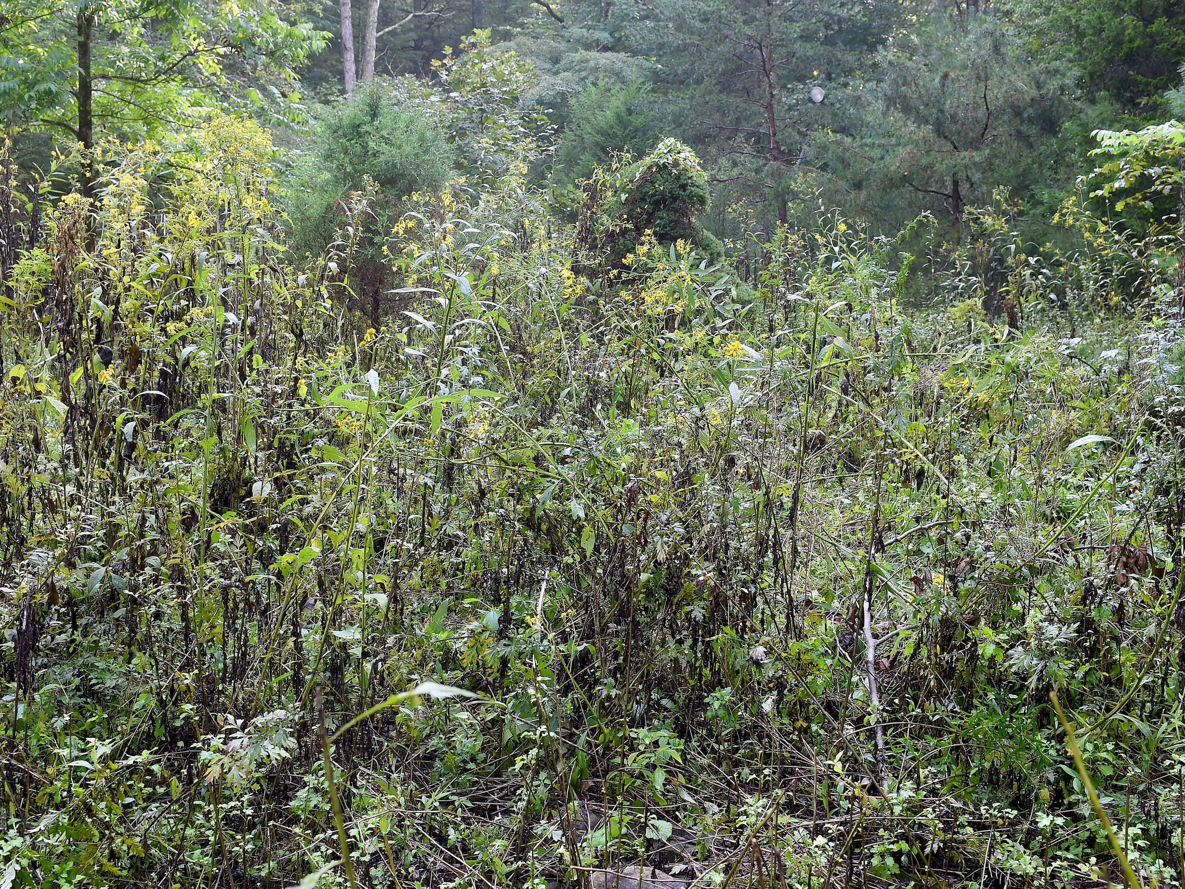 """A """"before"""" photograph of property near Churchville taken on Sept. 2, 2015, before a herd of ten goats from """"Goat Busters"""" had the chance to feast on the overgrown vegetation. The goats offer an earth-friendly method of clearing the land Ñ land left to grow wild for 10 years."""