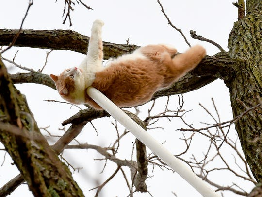 A catch pole fashioned spur of the moment by volunteer rescuer Roger Offenbacker has Rufus around the body and is used to pull him away from his limb in a tree 100 feet off the ground on Tuesday, Dec. 22, 2015. The cat had spent 7 days in the tree, refusing to come down.