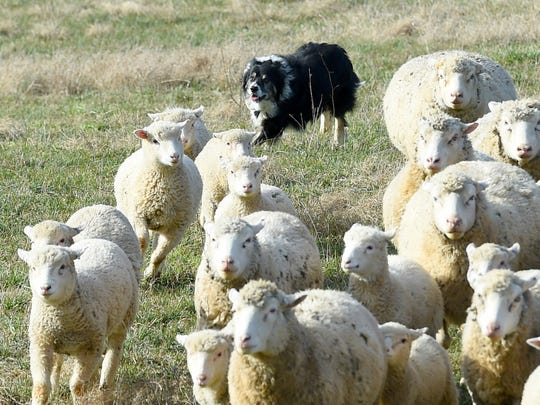 A border collie, Hemi rounds up the flock of sheep, following the commands of owner Leo Tammi at Shamoka Run Farm in Mount Sidney on Monday, Jan. 11, 2016.