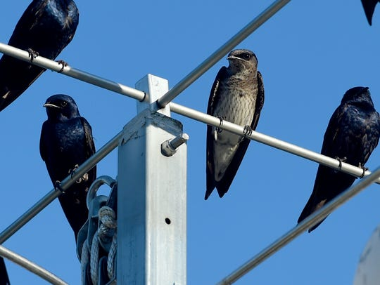 Purple martins share the perch on top a post supporting