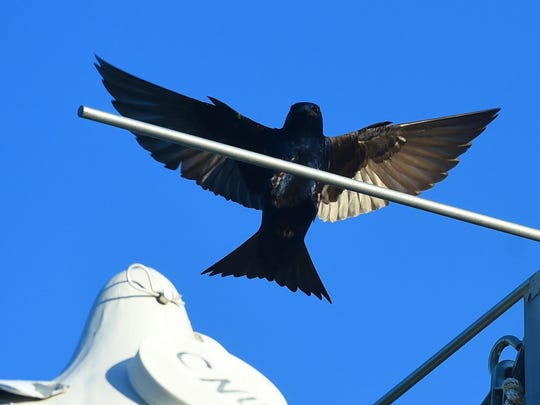 "An adult male purple martin has wings extended as he swoops in to perch over the colony. These birds are aerobatic as they prefer eating only bugs captured in in flight. ""Martins really like to eat dragonflies which are up about 100 to 200 feet above ground level,"" notes Mixon Darracott. ""That's their delicacy."""