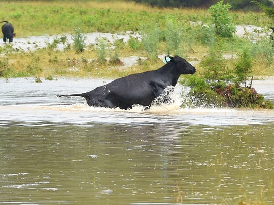 A cow swims and jumps its way across a stream flooded