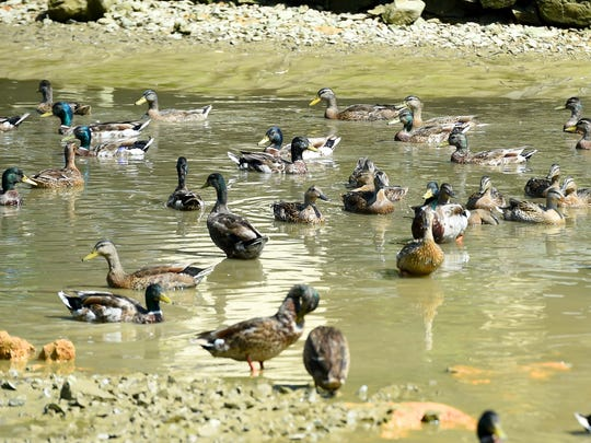 Ducks have no choice but to crowd together in what little water remains left after the duck pond in Gypsy Hill Park springs a leak with most of the water draining out on Friday, July 1, 2016.