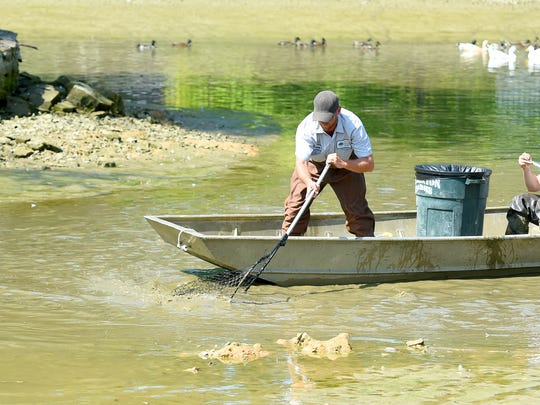Sammie Mason of Staunton Parks and Recreation uses a net to catch as many fish as he can from the duck pond in Gypsy Hill Park after it sprung a leak with most of the water draining out on Friday, July 1, 2016.