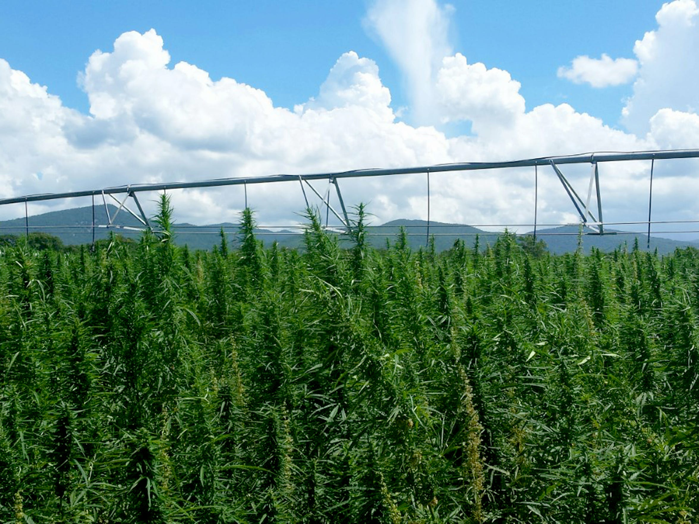 Hemp grows in a field at Riverhill Farm in Port Republic