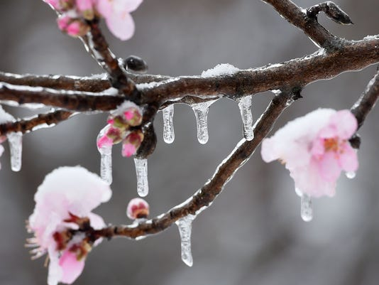 Snow, Ice and fruit blossoms